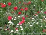 Poppies, Rocca Maggiore, Assisi